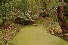 Watermeal asiático na superfície da água foto de stock