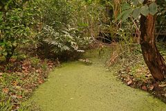 Watermeal asiatique sur la surface de l'eau photo stock