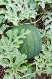 Watermeloen. Stock Foto