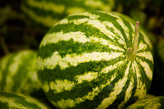 Watermeloen in een moestuin royalty-vrije stock foto's