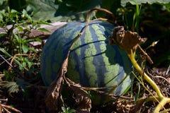 Watermeloen gestreept op een meloengebied Stock Afbeeldingen