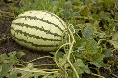 Watermeloen op een gebied Stock Afbeeldingen