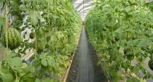 Watermeloenaanplanting in serre Royalty-vrije Stock Fotografie