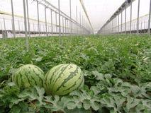 Watermeloenen op de serre van Almeria. Stock Afbeelding