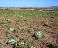 Watermeloenen op gebied Stock Foto