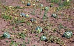 Watermeloenen op gebied Royalty-vrije Stock Foto
