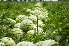 Watermeloenen op het gebied, het oogsten stock afbeeldingen