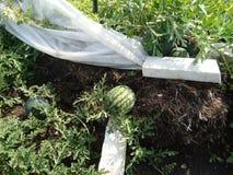 Watermeloengewone lat Citrúllus lanà ¡ tus is een jaarlijks kruid, species van de soort Watermeloen Citrullus van de Pompoen fam stock foto