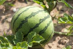 Watermeloenlandbouwbedrijf. Royalty-vrije Stock Foto