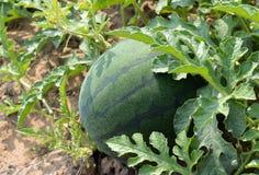 Watermeloenlandbouwbedrijf Stock Afbeeldingen