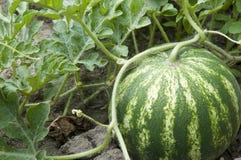 Watermelon. A Watermelon in the garden Stock Photography