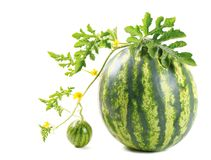 The watermelon Royalty Free Stock Photography
