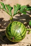 Watermelon. Small watermelon is growing in Asia Stock Photo