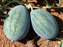 Watermelon. Indian summer special, watermelon in agricultural land Stock Image