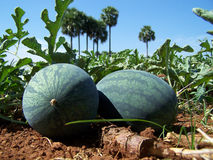 Watermelon. Indian summer special, watermelon in agricultural land Royalty Free Stock Images