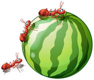 Watermelon and ants. Illustration of a watermelon and ants on a white background stock illustration