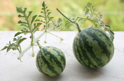 Watermelon bonsai Stock Photography