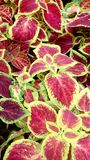 Watermelon Coleus plant close up Royalty Free Stock Photography