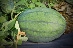 Watermelon cultivation. Stock Photo
