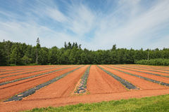 Watermelon Farm Stock Photography
