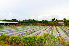 Watermelon farm in rural Royalty Free Stock Images