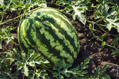 Watermelon on the field Royalty Free Stock Photos