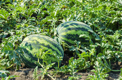 Watermelon on the field Royalty Free Stock Photo