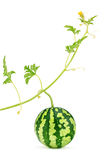 Watermelon. Fresh, juicy with green stem, leafs and yellow blossom, organic. Food close-up,  on white background Royalty Free Stock Images