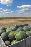 Watermelon fruit at trailer ready for sale. Heap of watermelon at tractor trailer, farmers market, with beautiful blue sky and clouds in background Stock Images