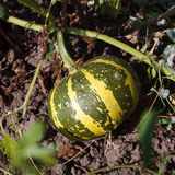 Watermelon in  garden Royalty Free Stock Photography
