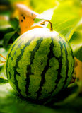Watermelon in garden on morning light. Watermelon in garden on strong morning light Stock Images