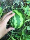 Watermelon on garden Stock Image