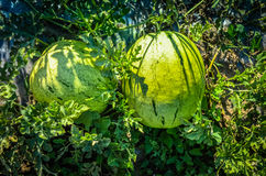 Watermelon In The Garden at summer Royalty Free Stock Photos