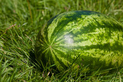 Watermelon on the grass Stock Image