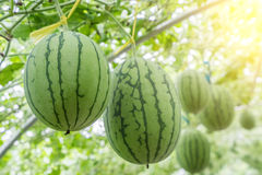 Watermelon in greenhouse Stock Images