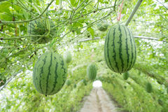 Watermelon in greenhouse Royalty Free Stock Photo
