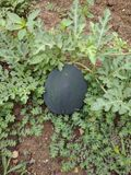 Watermelon Growing in Gardem stock photo