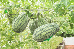 Watermelon growing in greenhouse Royalty Free Stock Photography