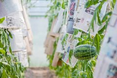 Watermelon growing in greenhouse royalty free stock photo