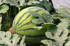 Free Watermelon Growth Stock Photos - 24568713