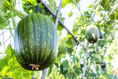 Watermelon hanging  on tree Royalty Free Stock Images