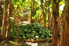 Watermelon harvest in a banana tree grove, Vietnam Royalty Free Stock Photos