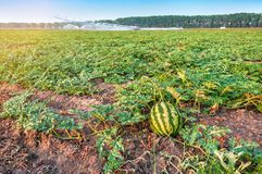 Watermelon In The Field On Sunset Stock Photos