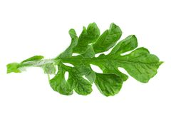 Watermelon leaf closeup Stock Images