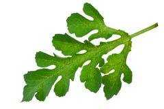 Watermelon leaf Stock Image