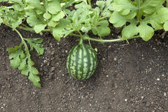 Watermelon plant Royalty Free Stock Photo