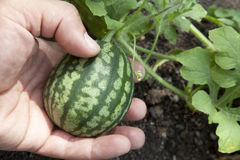 Watermelon plant Stock Photography