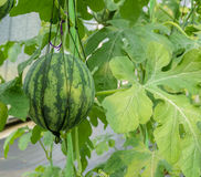 Watermelon plant Royalty Free Stock Images