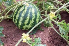 Watermelon plant in a garden Royalty Free Stock Photos