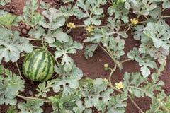 Watermelon plant Stock Photos